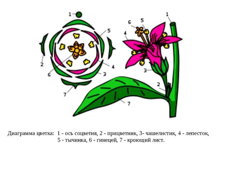 Диаграмма цветка: 1- ось соцветия, 2- прицветник, 3- чашелистик, 4- лепест...