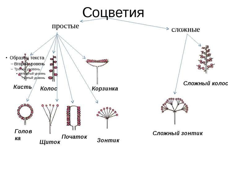 Соцветия Сложный колос Сложный