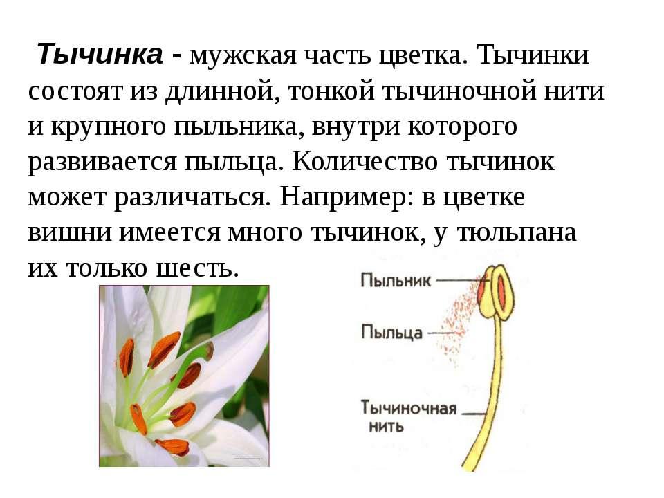 Тычинка - мужская часть цветка. Тычинки состоят из длинной, тонкой тычиночной...