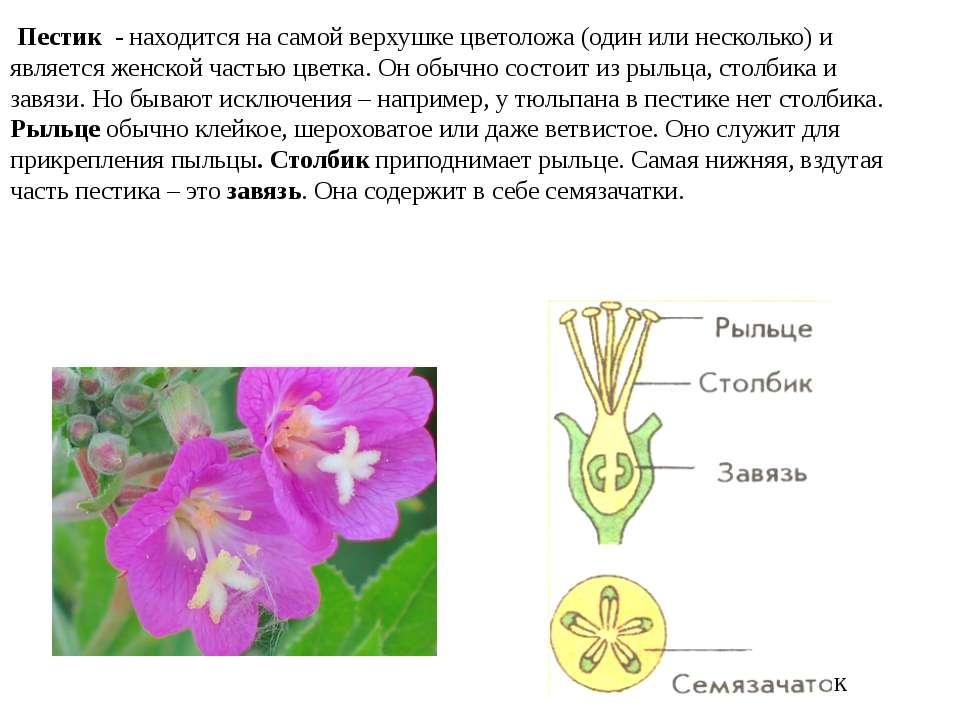 Пестик - находится на самой верхушке цветоложа (один или несколько) и являет...