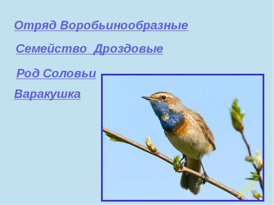Отряд Воробьинообразные Семейство Дроздовые Род Соловьи Варакушка