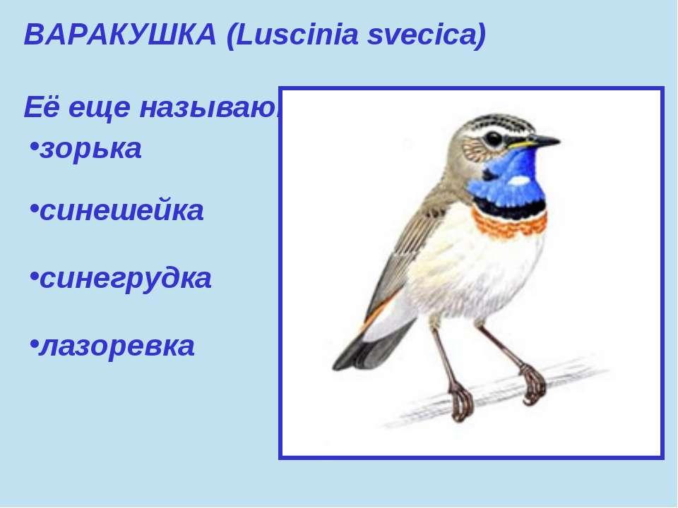 ВАРАКУШКА (Luscinia svecica) Её еще называют: зорька синешейка синегрудка лаз...