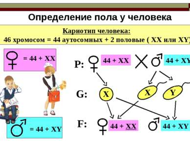Определение пола у человека Кариотип человека: 46 хромосом = 44 аутосомных + ...