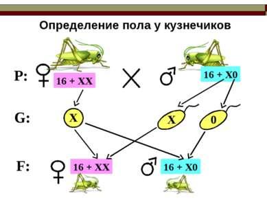 Определение пола у кузнечиков P: G: F: 16 + ХХ 16 + Х0