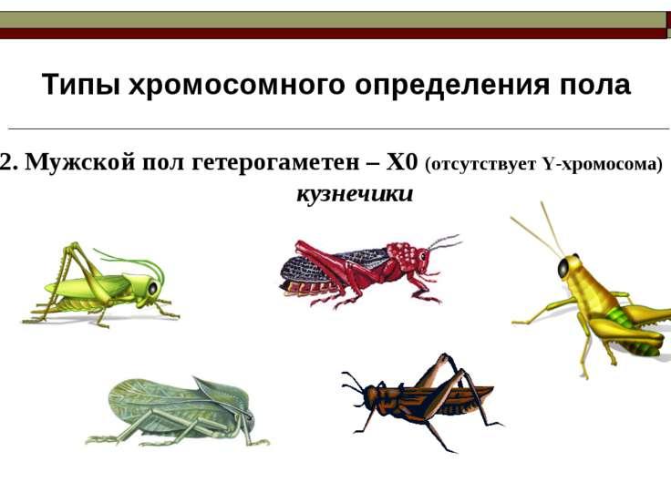 Типы хромосомного определения пола 2. Мужской пол гетерогаметен – Х0 (отсутст...