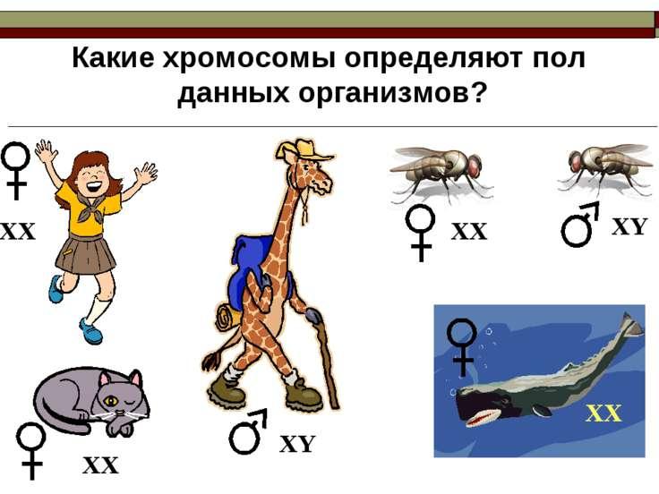 Какие хромосомы определяют пол данных организмов? ХХ ХХ ХХ ХY ХY ХХ
