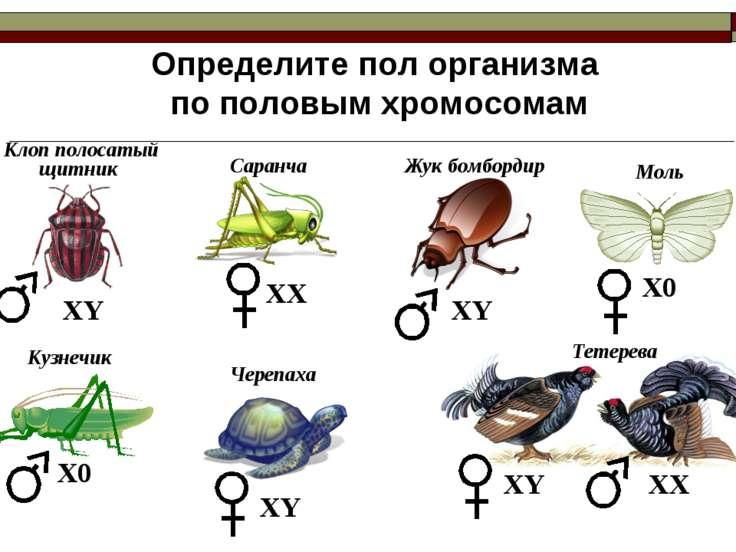 Определите пол организма по половым хромосомам