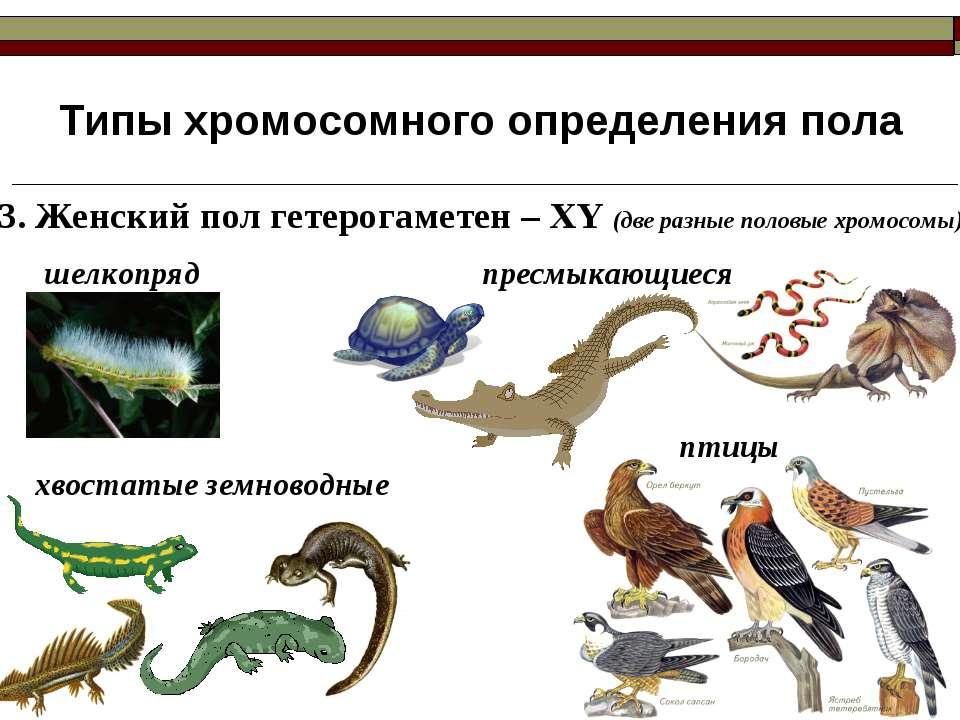 Типы хромосомного определения пола 3. Женский пол гетерогаметен – ХY (две раз...