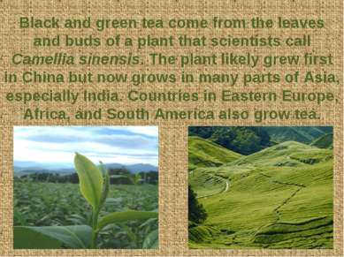 Black and green tea come from the leaves and buds of a plant that scientists ...