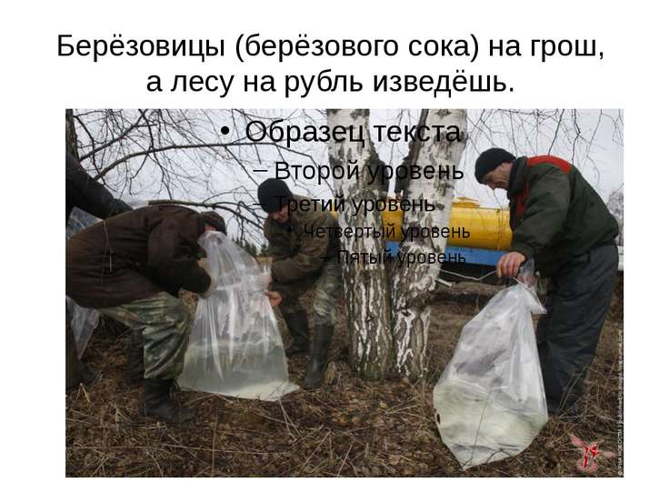 Берёзовицы (берёзового сока) на грош, а лесу на рубль изведёшь.