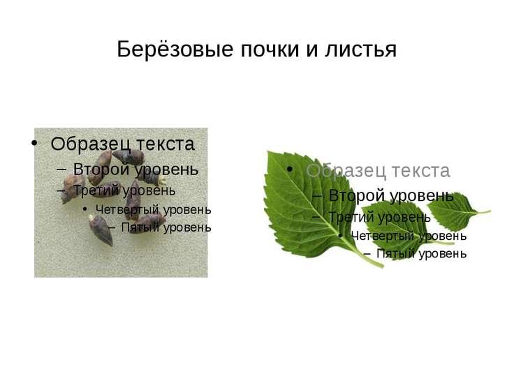 Берёзовые почки и листья