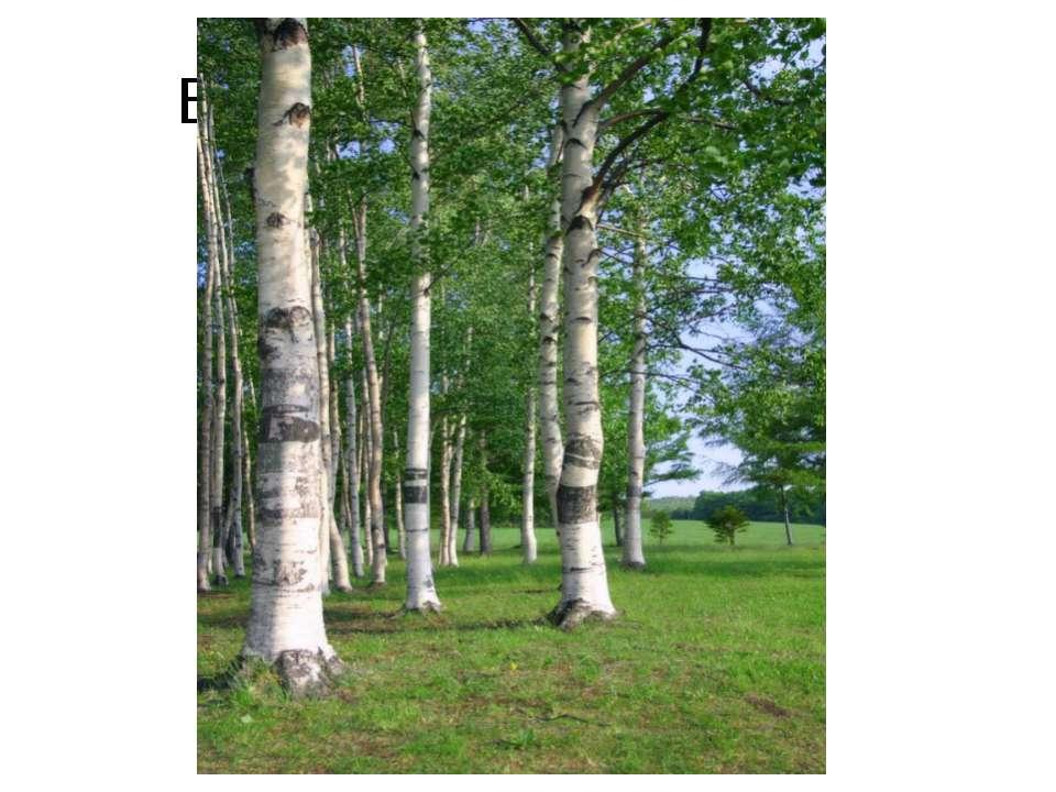 Берёзовые серёжки http://votkinsk.ru/upload/medialibrary/e45/yun_914.jpg