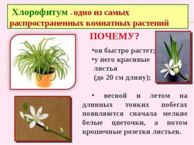 он быстро растет; у него красивые листья (до 20 см длину); весной и летом на ...