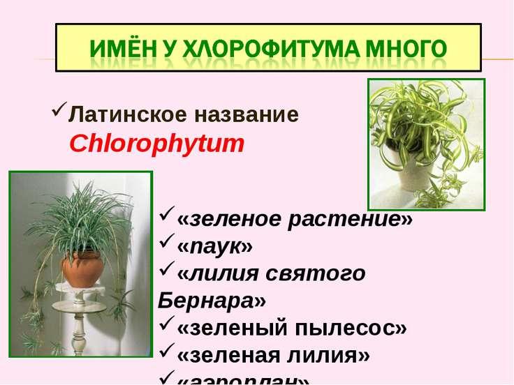 Латинское название Chlorophytum «зеленое растение» «паук» «лилия святого Берн...