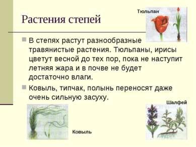Растения степей В степях растут разнообразные травянистые растения. Тюльпаны,...