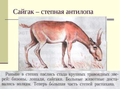 Сайгак – степная антилопа