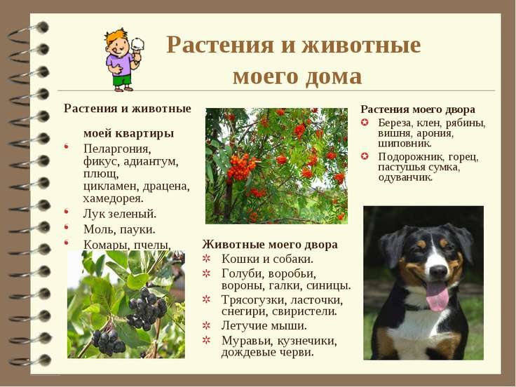 Растения и животные моего дома Растения и животные моей квартиры Пеларгония, ...