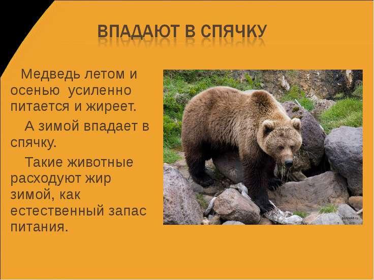 Медведь летом и осенью усиленно питается и жиреет. А зимой впадает в спячку. ...
