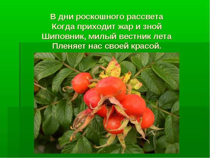 В дни роскошного рассвета Когда приходит жар и зной Шиповник, милый вестник л...