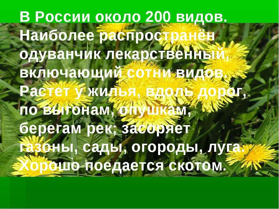 В России около 200 видов. Наиболее распространён одуванчик лекарственный, вкл...