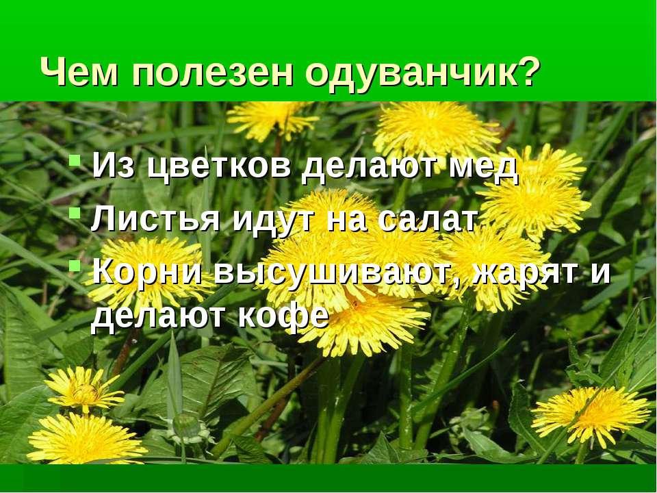 Чем полезен одуванчик? Из цветков делают мед Листья идут на салат Корни высуш...