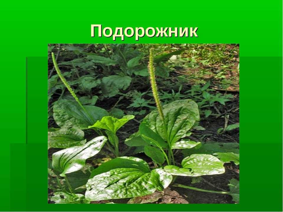 Подорожник Что это за растение?