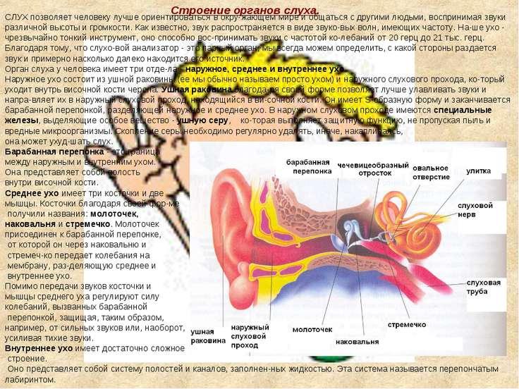 Строение органов слуха. СЛУХ позволяет человеку лучше ориентироваться в окру ...