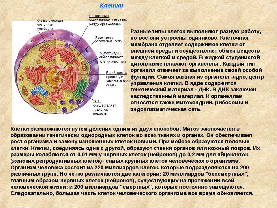 Клетку окружает клеточная мембрана Цитоплазма, обеспечивающая связь между орг...