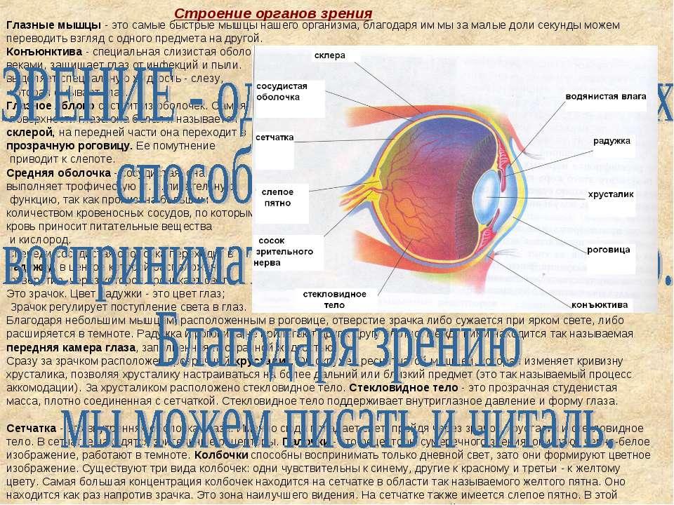 Глазные мышцы - это самые быстрые мышцы нашего организма, благодаря им мы за ...