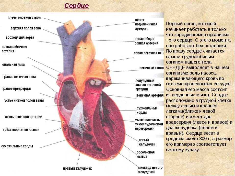 Сердце Первый орган, который начинает работать в только что зародившемся орга...