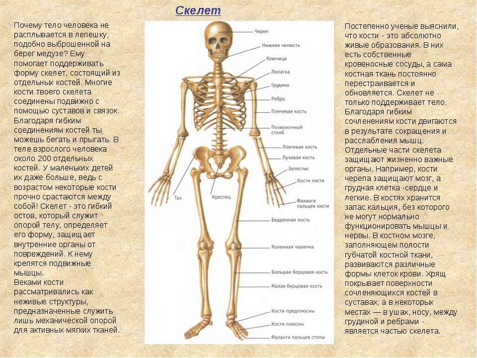 Скелет Постепенно ученые выяснили, что кости - это абсолютно живые образовани...