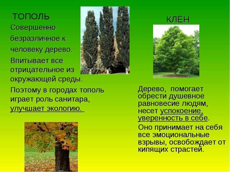 ТОПОЛЬ Совершенно безразличное к человеку дерево. Впитывает все отрицательное...