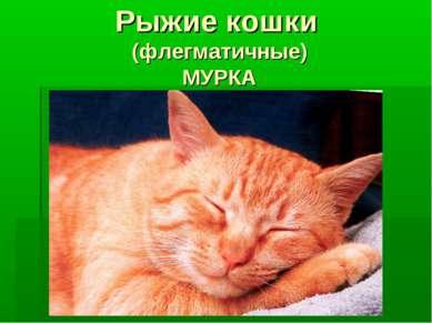 Рыжие кошки (флегматичные) МУРКА
