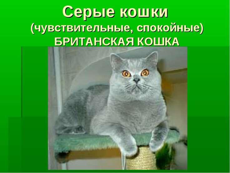 Серые кошки (чувствительные, спокойные) БРИТАНСКАЯ КОШКА