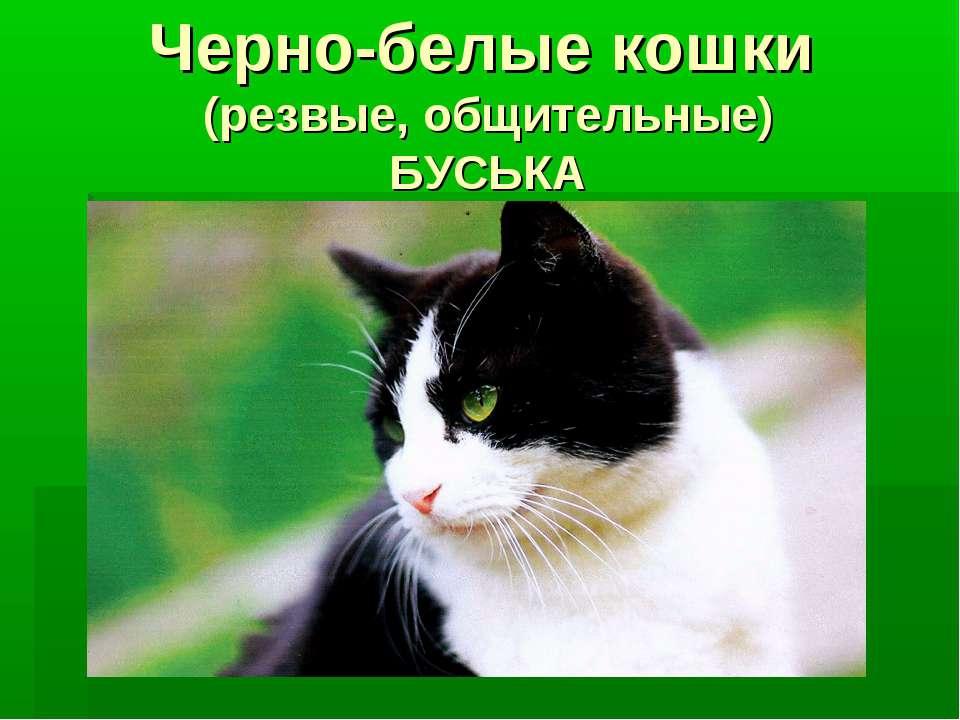 Черно-белые кошки (резвые, общительные) БУСЬКА