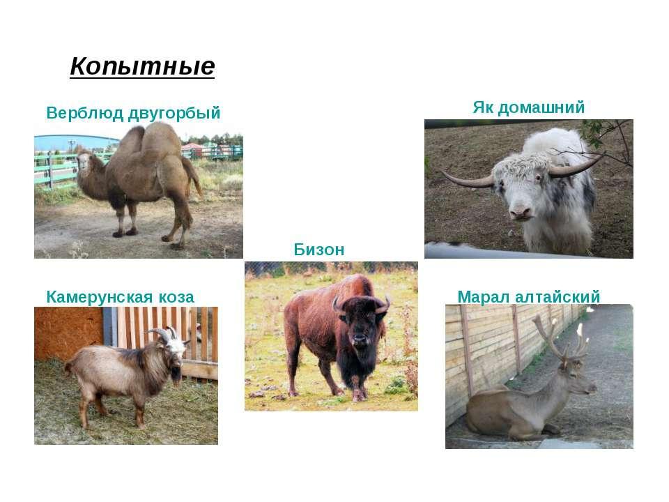 Копытные Верблюд двугорбый Марал алтайский Камерунская коза Як домашний Бизон