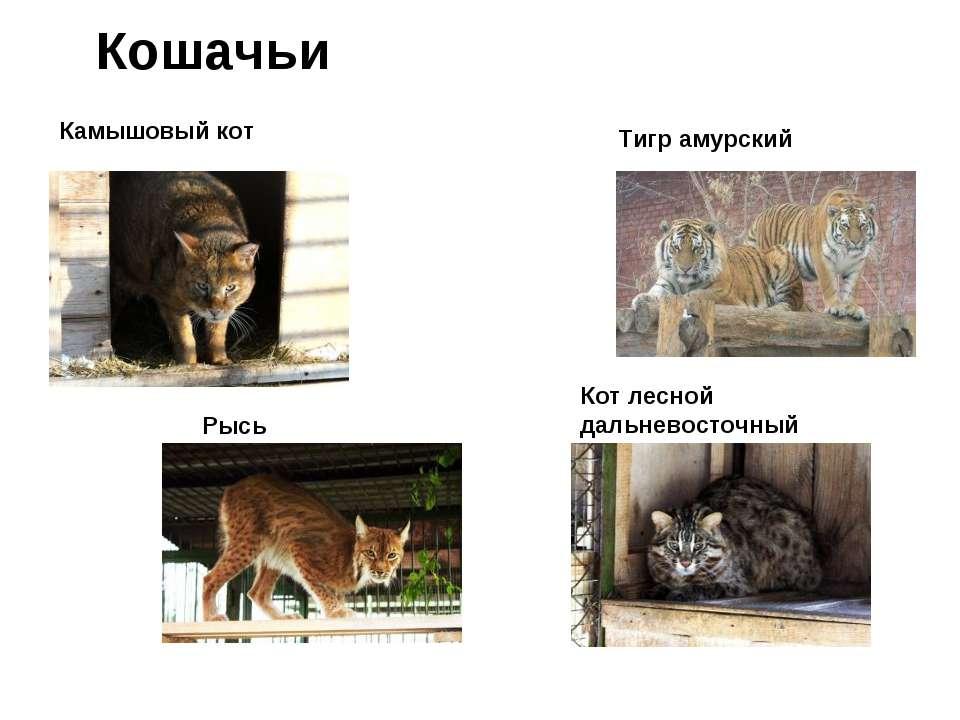 Кошачьи Камышовый кот Тигр амурский Рысь Кот лесной дальневосточный