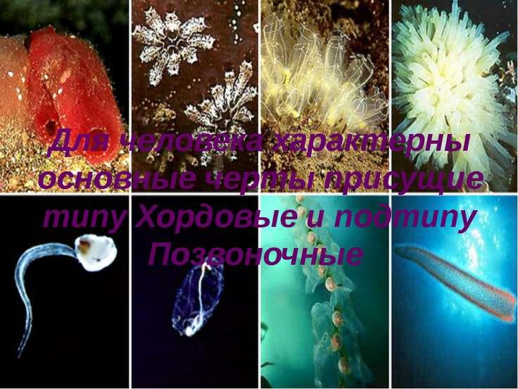 Для человека характерны основные черты присущие типу Хордовые и подтипу Позво...