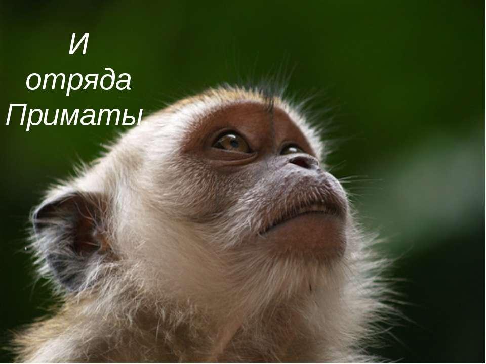 И отряда Приматы.