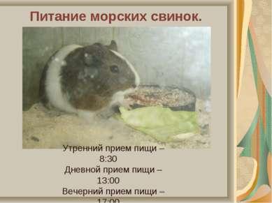 Питание морских свинок. Утренний прием пищи – 8:30 Дневной прием пищи – 13:00...