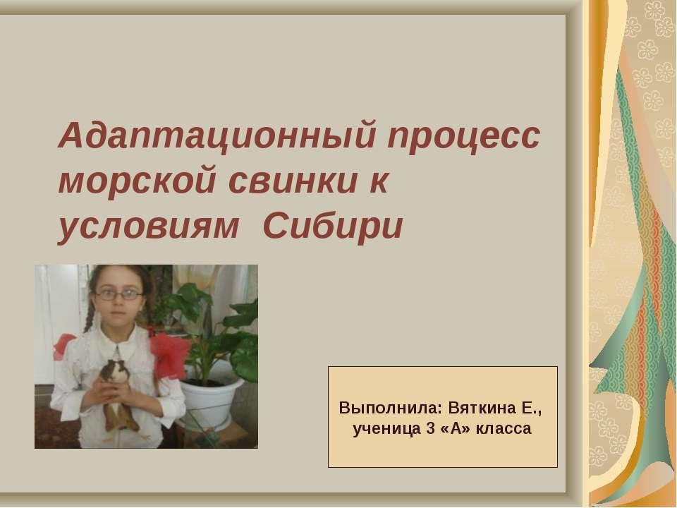 Адаптационный процесс морской свинки к условиям Сибири Выполнила: Вяткина Е.,...