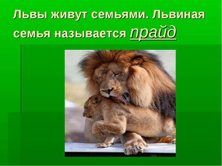 Львы живут семьями. Львиная семья называется прайд
