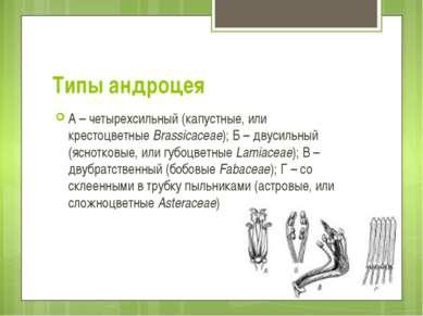 Типы андроцея А – четырехсильный (капустные, или крестоцветныеBrassicaceae);...