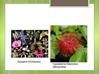 Орхидные (Orchidaceae) подсемейство Мимозовые (Mimosoideae)