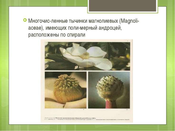 Многочис ленные тычинки магнолиевых (Magnoli aceae), имеющих поли мерный андр...