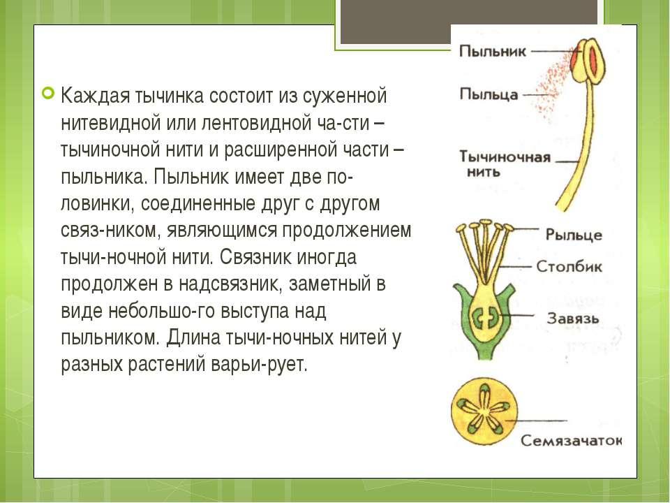 Каждая тычинка состоит из суженной нитевидной или лентовидной ча сти – тычино...