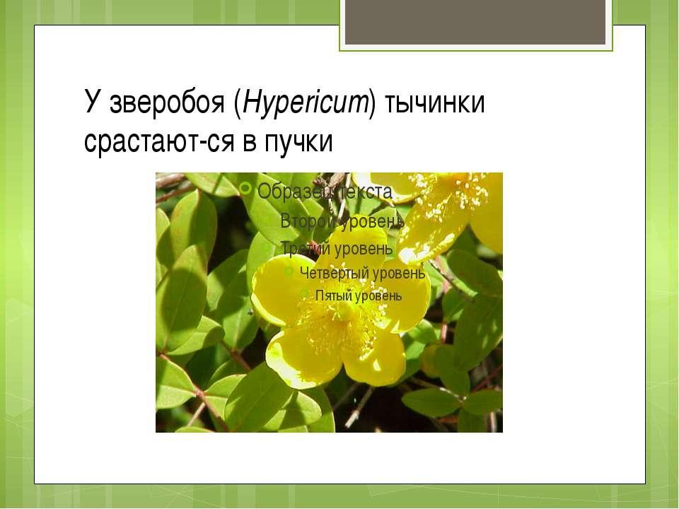 У зверобоя (Hypericum) тычинки срастают ся в пучки