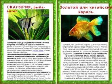 СКАЛЯРИЯ, рыба-ангел Скалярии в природных условиях обитают в Южной Америке в ...