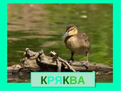 КРЯКВА Кряква
