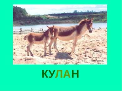 КУЛАН Кулан